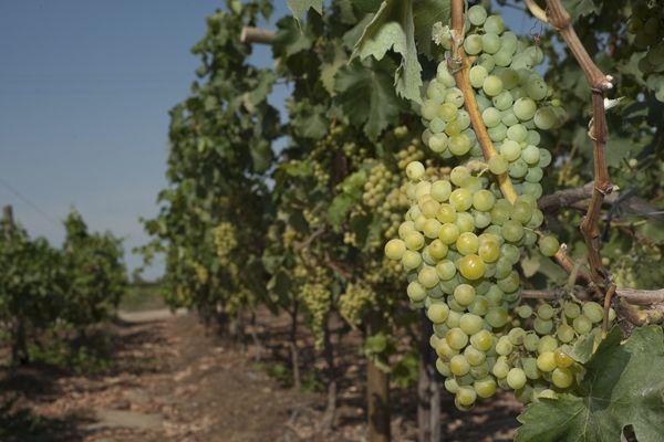 Pisco grapes